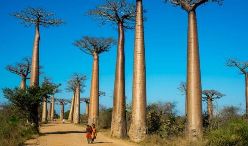 Le baobab et ses bienfaits
